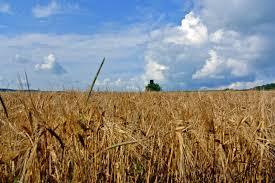 grano-campo