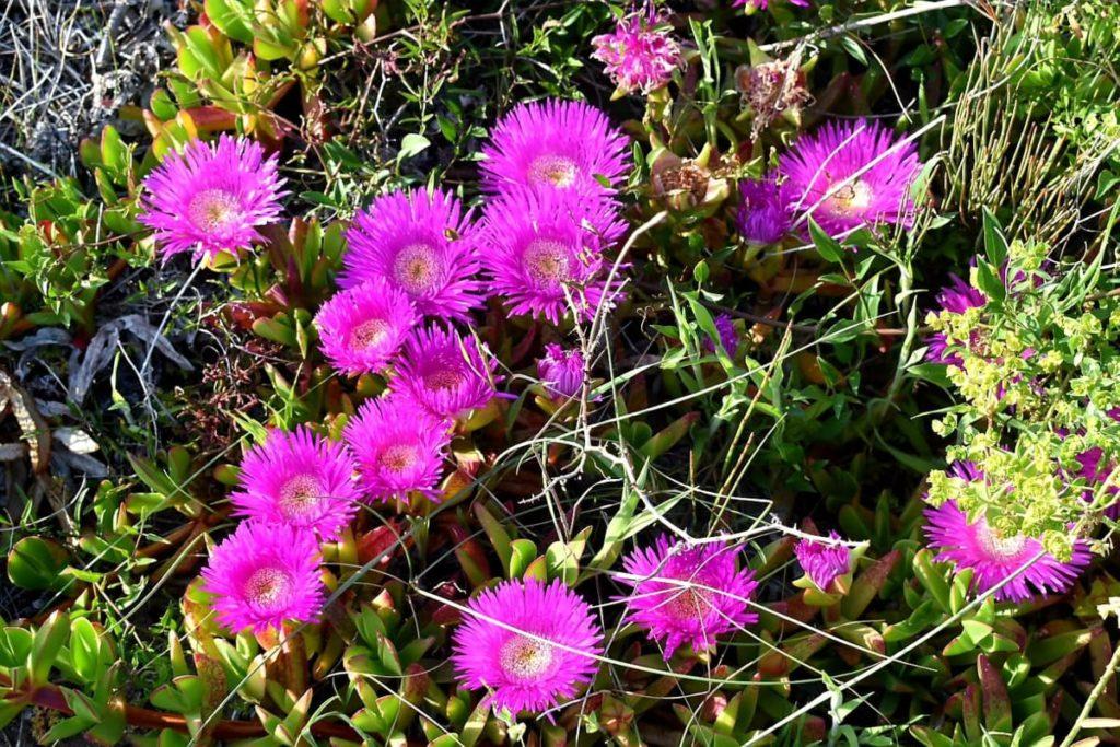 fiori-sardegna